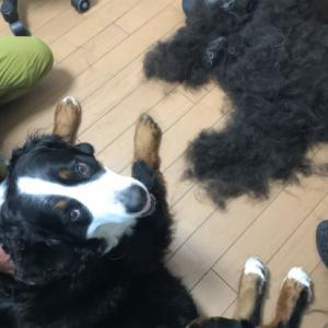 大型犬のブラッシング