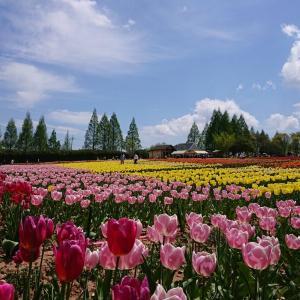 広島観光 世羅高原農場「チューリップ祭」&花夢の里「芝桜とネモフィラの丘」