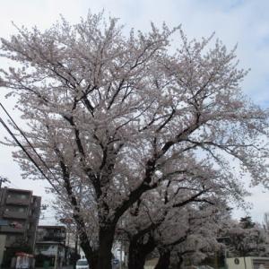 2020年3月28日 朝の富士森公園の桜開花状況です