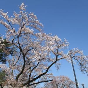 2020年4月4日 朝の富士森公園の桜開花状況は。。。