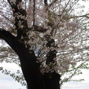 2020年4月5日 朝の富士森公園の桜の様子は。。。