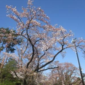 2020年4月6日 朝の富士森公園の様子です