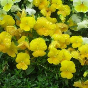 今朝の富士森公園の花壇と緑とイマソラ(2020年6月2日)