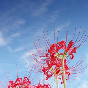 矢勝川堤の秋の空と彼岸花