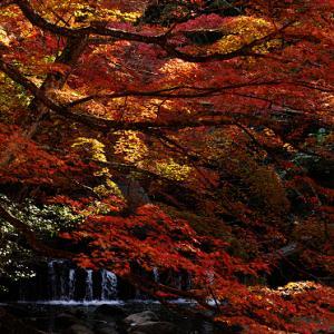 岩屋堂公園の渓谷の紅葉のアーチ