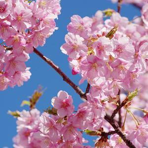 聖崎公園の青空に映える河津桜