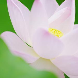 緑あざやかな弘誓院の花ハス