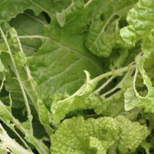 家庭菜園 10月下旬 白菜の様子