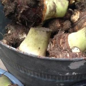 家庭菜園 11月下旬 サトイモ 掘り上げ