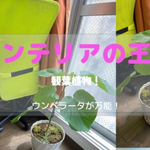【インテリアに最適】観葉植物ウンベラータ