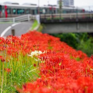 広島 新庄川のヒガンバナ