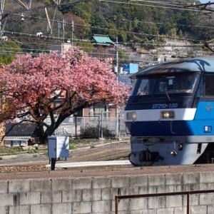 海田市駅の河津桜