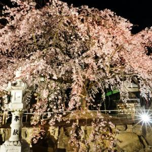 広島 観音神社のしだれ桜