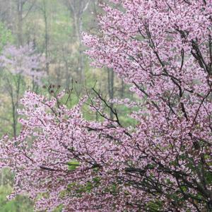 満開の桜とラピュタ雲?