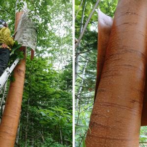 白樺材の樹皮のお話-2