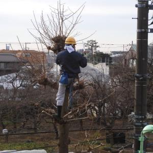 世田谷区が街路樹イチョウの剪定作業