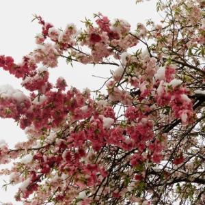 世田谷区「雪のはなもも」