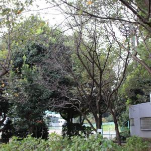 相模原北公園の桜咲く風景
