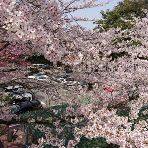 桜がきれいだったので、