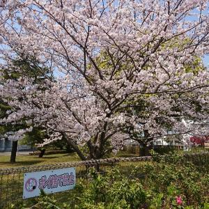 桜が咲きます。