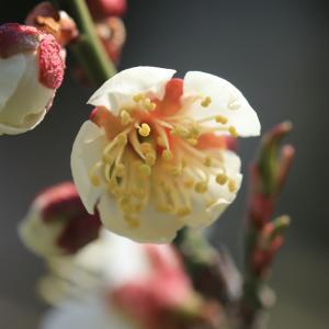 梅は咲いたか桜はまだだ