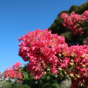 百日紅開花…