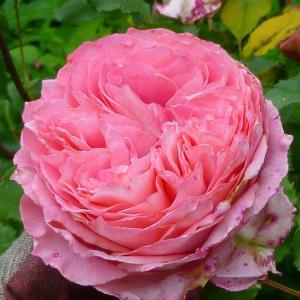 寒冷地に適した植物(バラ)