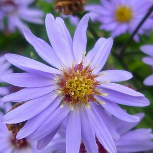 寒冷地に適した植物(宿根アスター)
