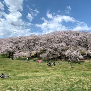 今年の桜その2