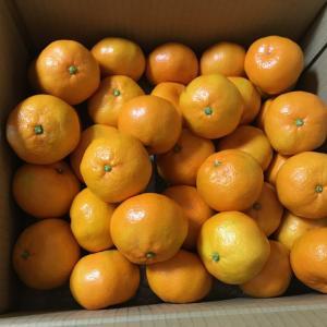 ふるさと納税、福岡県古賀市の果物定期便に寄付、1回目のみかんの画像