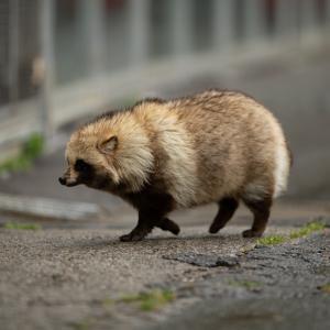 【速報】歩く里芋、発見される