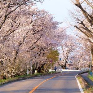 笠松町の桜