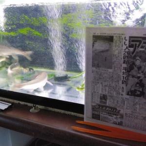 岐阜県産の鮎を水槽で飼育して11ヶ月!