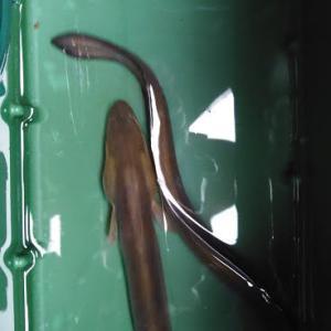 30年ぶり、鮎で鰻を釣る!