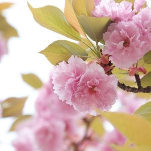 桜の儚さに