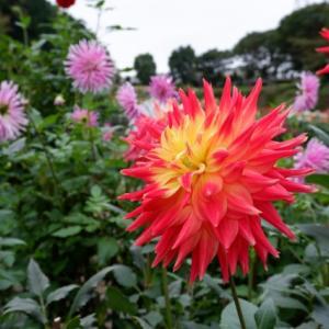 ダリアの美しさに本当にビックリ 町田ダリア園