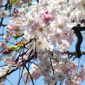 花祭りと満開の桜