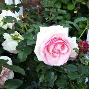 薔薇の教会と明治村