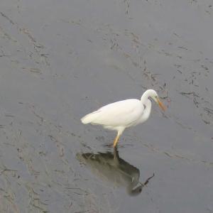 疎水の水鳥