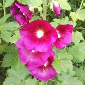 初夏の花~立葵と葵の御紋