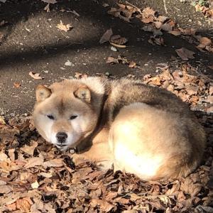 北海道犬は 時速60kmで走る! 「味道広路(あじどころ)」 夕張郡栗山町