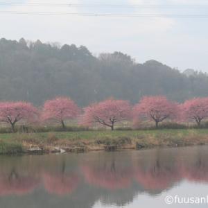 八千代市新川沿い・満開の河津桜の下でのウォーキングでしたが…(2020年3月5日)