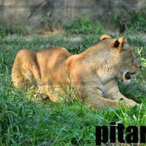 #12  ライオン・トラ・ホッキョクグマ 八木山動物公園フジサキの杜