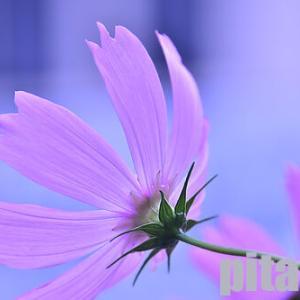 教会に咲くコスモス