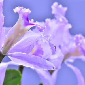 #9「花と緑のココロ博2020」カトレヤとその近縁属 今年中止になったイベント