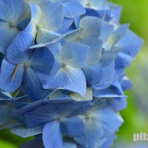 榴ヶ岡公園のアジサイ 咲いていました。 2021年6月17日