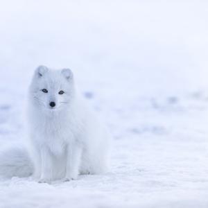 ロードフォックス:WHITE FOX