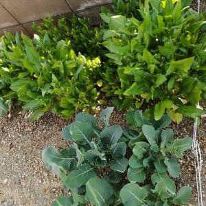 野菜 収穫しました!(4月の話)