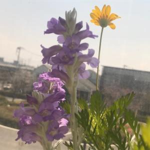 【今朝の植物】エレモフィラニベア〜生まれながら自分を知る〜