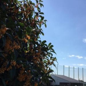 金木犀の香りの季節